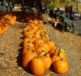Free Photo - Pumpkin Patch Row