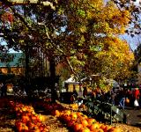 Free Photo - Pumpkin Patch Row with Tree