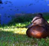 Free Photo - Mallard at rest