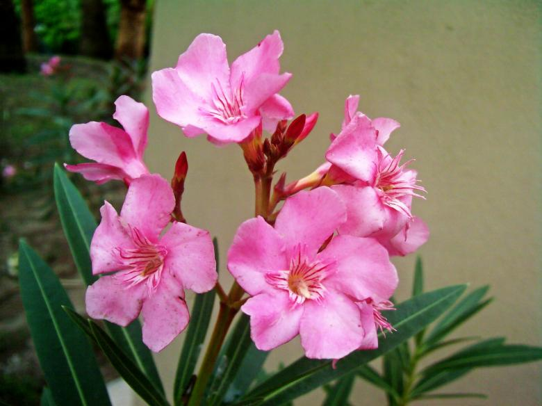 Free Stock Photo of Pink flowers Created by homero chapa