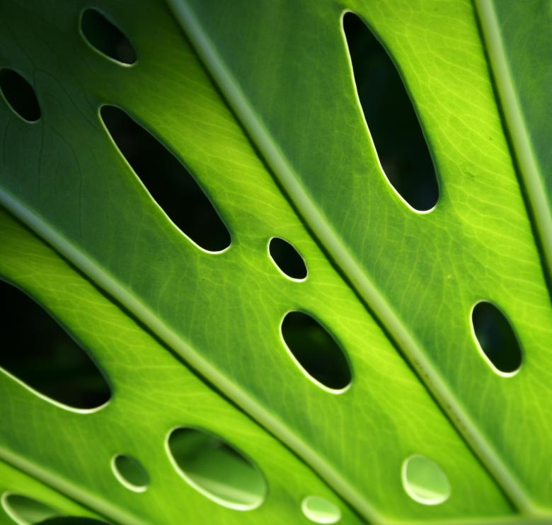 Monstera Leaf - Free Organic Backgrounds