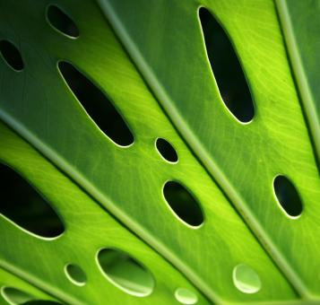 Monstera Leaf - Free Stock Photo