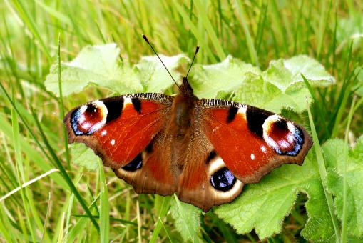 peacock butterfly - Free Stock Photo