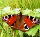 Free Photo - peacock butterfly