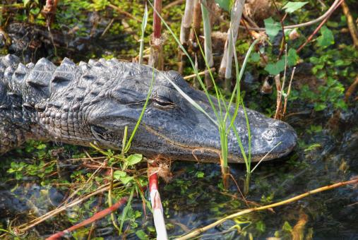 Sleeping Crocodile, Everglades, Florida - Free Stock Photo