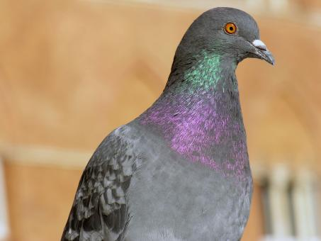 Pigeon in Siena, Tuscany, Italy - Free Stock Photo