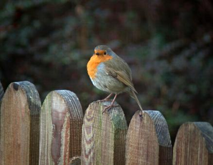 Robin in Winter - Free Stock Photo