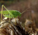Free Photo - Green Locust