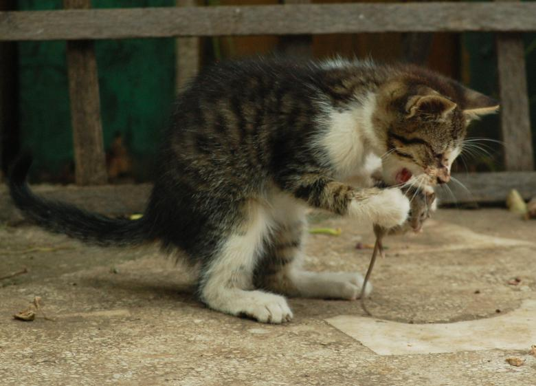 Free Stock Photo of Cat eating a mouse Created by Cofaru Alexandru