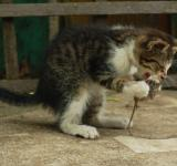 Free Photo - Cat eating a mouse