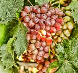 Free Photo - Grapes