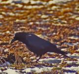 Free Photo - Black Crow
