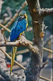 Blue and yellow Parakeet - Free Stock Photo