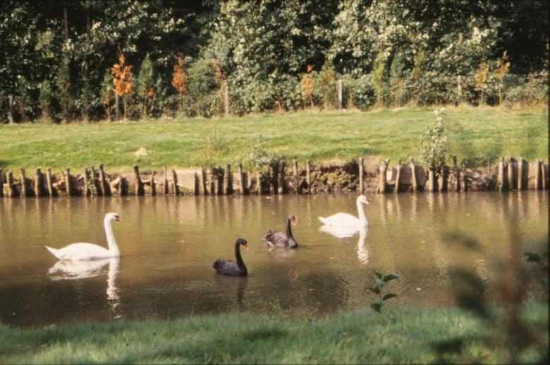 Swans and ducks Free Photo
