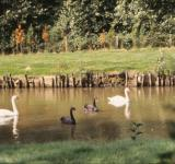 Free Photo - Swans and ducks