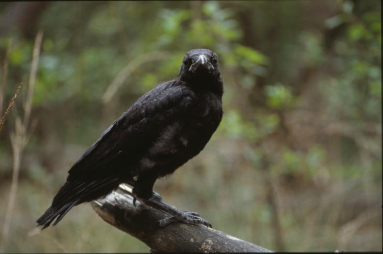 Free Stock Photo of Black Crow Created by MUNCH PIERRE