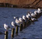 Free Photo - Line of seagulls
