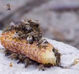 Free Photo - Honey Bees