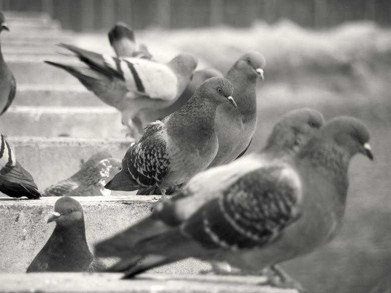 Free Stock Photo of Pigeons Created by Furio Franceschinel