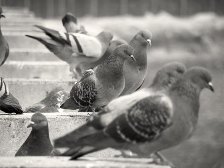 Pigeons - Free Stock Photo
