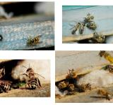 Free Photo - Bees Collage