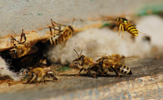 Honey bees - Free Stock Photo