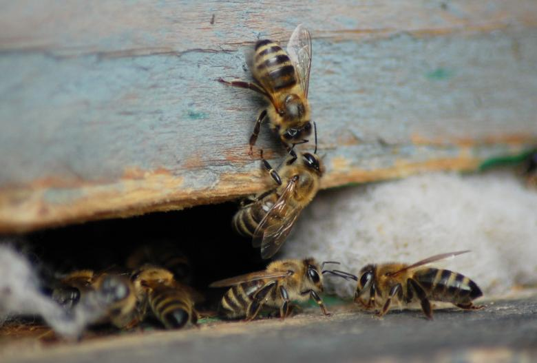 Honey bees Free Photo