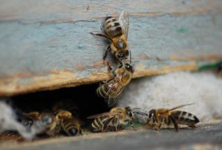 Download Honey bees Free Photo