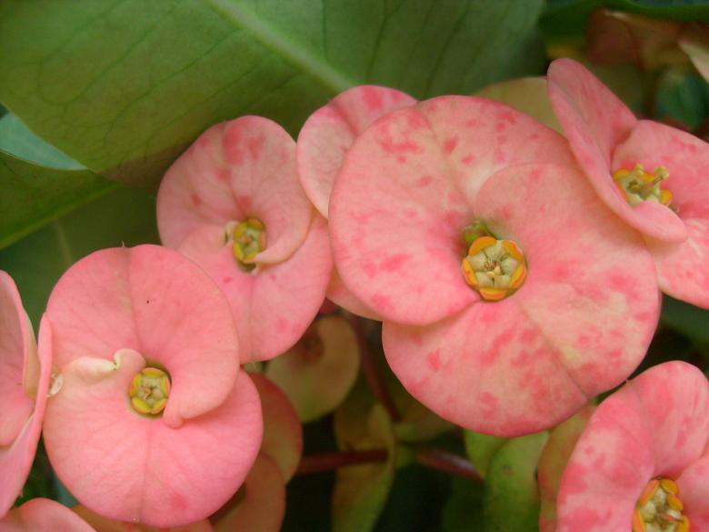 Free Stock Photo of Euphorbia Flowers Created by Jochanan Wahjudi