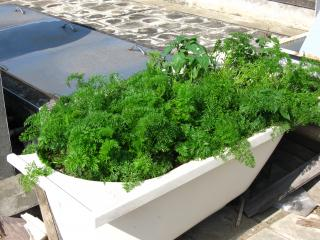 Plants Growing in Old Bathtub Free Photo