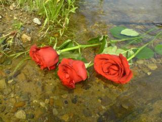 Three red roses Free Photo