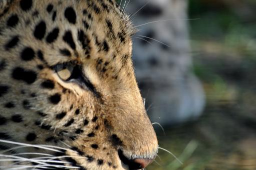 Leopard - Free Stock Photo