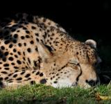 Free Photo - Sleeping Cheetah
