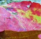 Free Photo - Maple leaf