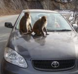 Free Photo - Monkeys on car