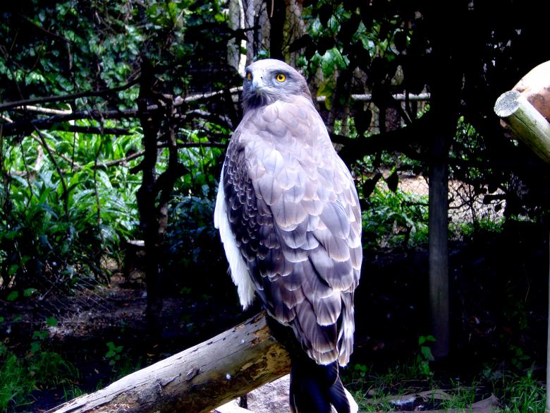Bird of Prey - Hawk Free Photo
