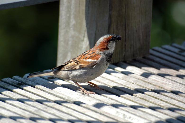Free Stock Photo of Sparrow Created by Max van Holten