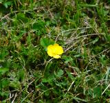 Free Photo - Creeping Buttercup