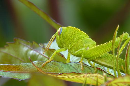 Grasshopper (cavalletta) - Free Stock Photo