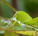 Free Photo - Grasshopper (cavalletta)