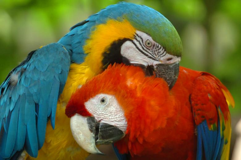 Free Stock Photo of Macaws Created by Guillermo Ossa
