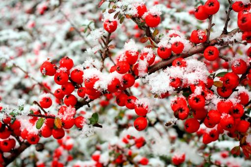 Snow and berries - Free Stock Photo
