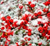 Free Photo - Snow and berries