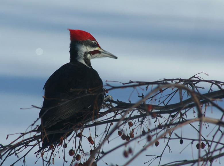 Free Stock Photo of Pileated Woodpecker Created by Donna Evans