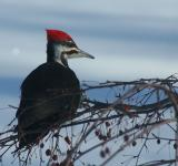 Free Photo - Pileated Woodpecker