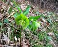 Free Photo - Helleborus odorus