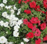 Free Photo - White and Red Flowers