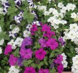 Free Photo - White and Purple Flowers