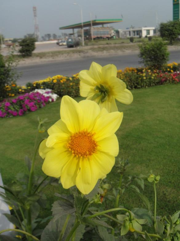 Free stock image of Yellow Flowers created by Ali Haider