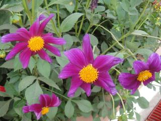 Purple Flowers Free Photo